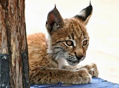 Photograph - Baby Lynx by Amy McDaniel