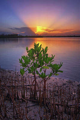 Baby Mangrove Sunset At Indian River State Park Art Print