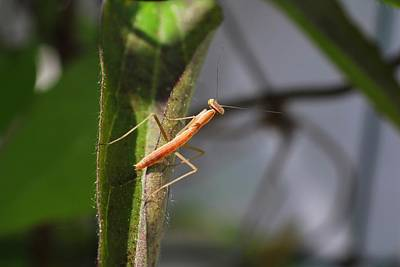 Photograph - Baby Mantis by Kathryn Meyer