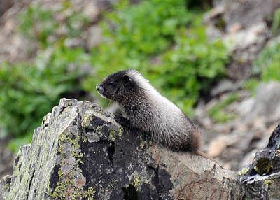 Photograph - Baby Marmot by Rebecca Parker