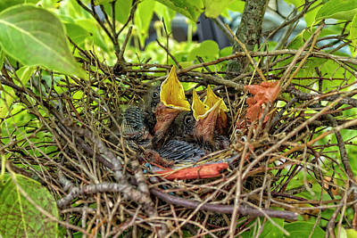 Photograph - Baby Mockingbirds by Kay Brewer