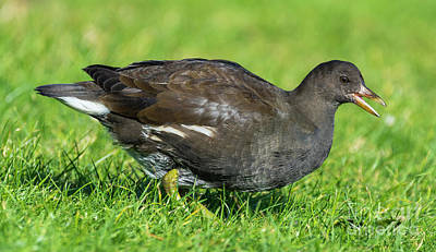 Moorhen Photograph - Baby Moorhen by Geoff Smith