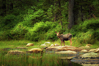 Photograph - Baby Moose at Lilly Pond. White Mountain National Forest. by Vladimir Grablev