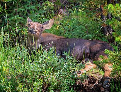 Photograph - Baby Moose by Loree Johnson