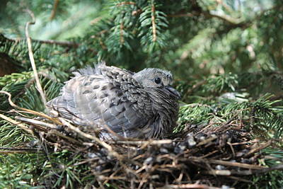 Photograph - Baby Morning Dove by Dennis Pintoski