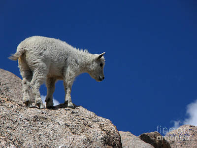 Photograph - Baby Mountain Goat by George Tuffy