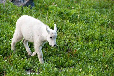 Photograph - Baby Mountain Goat by Steve Stuller