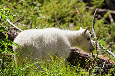 Photograph - Baby Mountain Goat by Steve Triplett