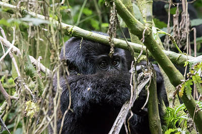 Railroad - Baby mountain gorilla in tree, Bwindi Impenetrable Forest Nation by Karen Foley