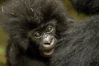 Baby Mountain Gorilla  Original by Ingo Arndt