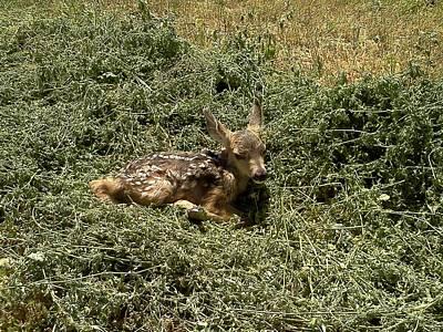 Baby Mule Deer Original