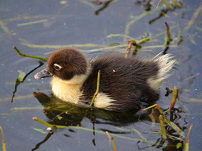 Photograph - Baby Muscovy Duckling by rd Erickson