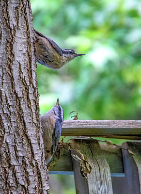 Photograph - Baby Nuthatch 2 by Steve Harrington