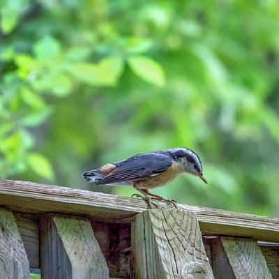 Photograph - Baby Nuthatch by Steve Harrington