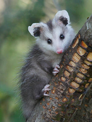 Baby Opossum Photograph By Adrienne Smith