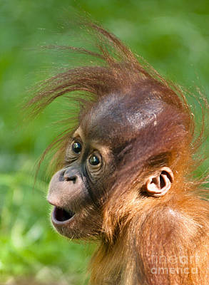 Photograph - Baby Orangutan by Andrew  Michael