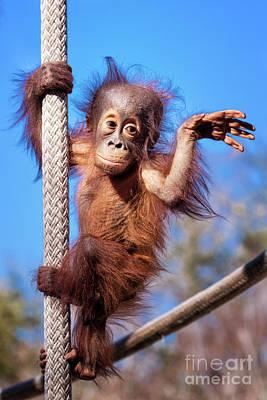 Photograph - Baby Orangutan Climbing by Stephanie Hayes