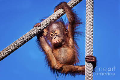 Photograph - Baby Orangutan Hanging Out by Stephanie Hayes