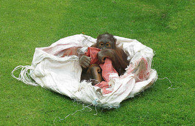 Photograph - Baby Orangutan Relaxing by Tom Conway