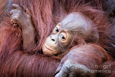 Photograph - Baby Orangutan by Stephanie Hayes