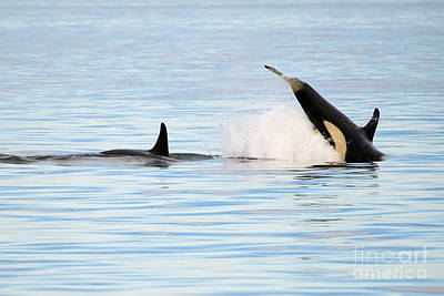 Water Play Photograph - Baby Orca Tag by Mike Dawson