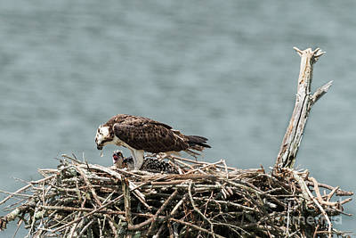 Photograph - Baby Osprey Eating Fish From Female Osprey by Dan Friend