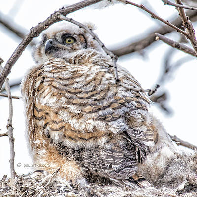 Photograph - Baby Owl 04.... by Paul Vitko