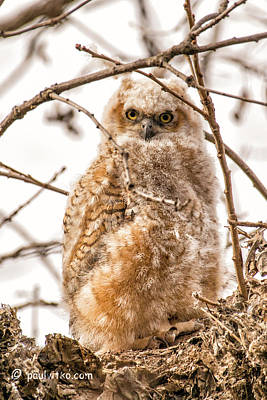 Photograph - Baby Owl 06..... by Paul Vitko