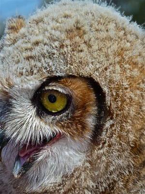 Baby Owl Art Print