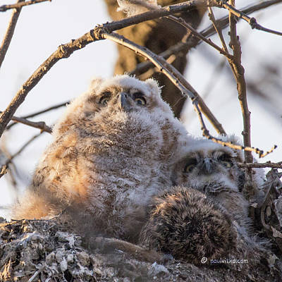 Photograph - Baby Owls 01.... by Paul Vitko