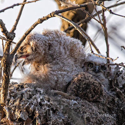 Photograph - Baby Owls 03.... by Paul Vitko