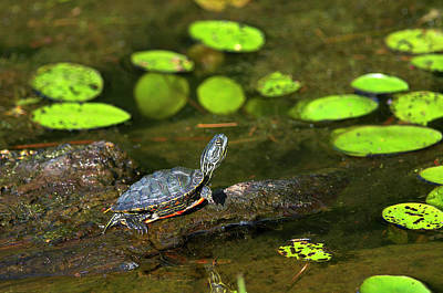 Photograph - Baby Western Painted Turtle by Sharon Talson