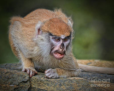 Photograph - Baby Patas Monkey On Guard  by Jim Fitzpatrick