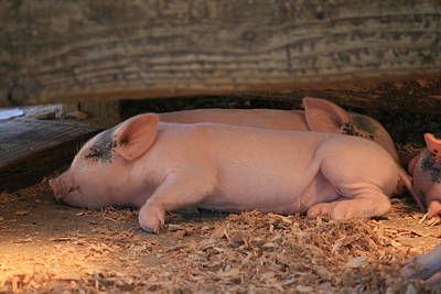 Photograph - Baby Piglets by Kathleen Scanlan