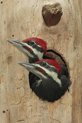 Pileated Woodpecker Photograph - Baby Pileated Woodpeckers Peer by George Grall