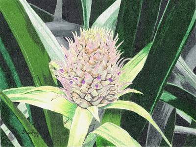 Bromeliad Drawing - Baby Pineapple by David Cochran