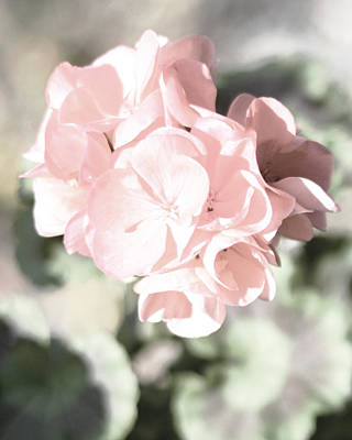 Photograph - Baby Pink Geranium by Connie Fox