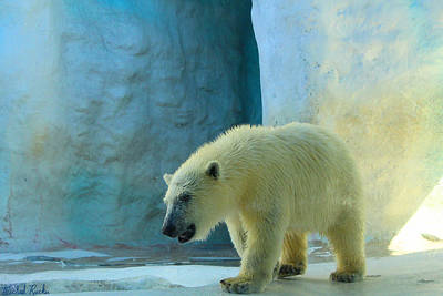 Photograph - Baby Polar Bear by Michael Rucker