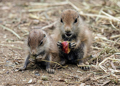 Photograph - Baby Prairie Dogs Eating by William Bitman