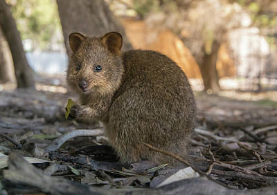 Photograph - Baby Quokka by Martin Capek