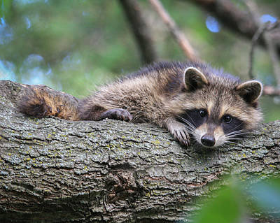 Photograph - Baby Raccoon by Kimberly Kotzian