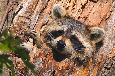 Raccoon Photograph - Baby Raccoon by William Jobes
