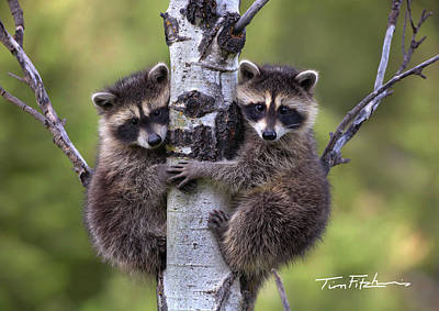 Photograph - Baby Raccoons by Tim Fitzharris