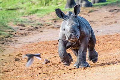 Photograph - Baby Rhino by Jennifer Ludlum