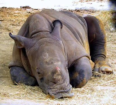 Photograph - Baby Rhino Resting by Terri Mills