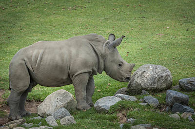 Photograph - Baby Rino by Tyson Smith