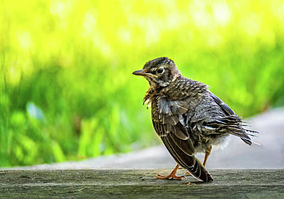 Photograph - Baby Robin - Fresh From The Nest 2 by Steve Harrington