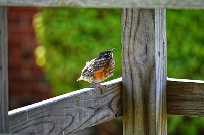 Photograph - Baby Robin  by Joseph Caban