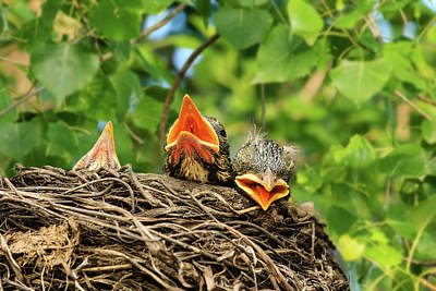 Photograph - Baby Robins Tired Of Waiting by Joni Eskridge