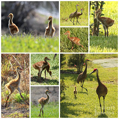 Photograph - Baby Sandhills Collage by Carol Groenen